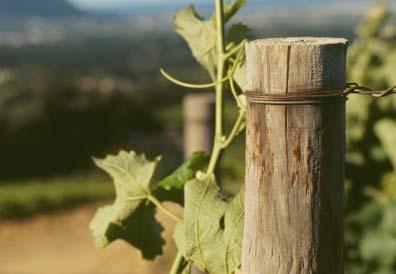 Close up of a grapevine